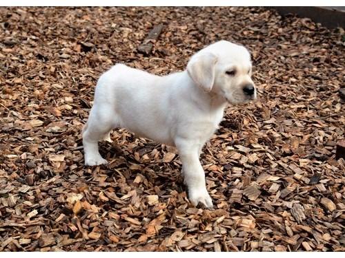 Labrador puppies for you