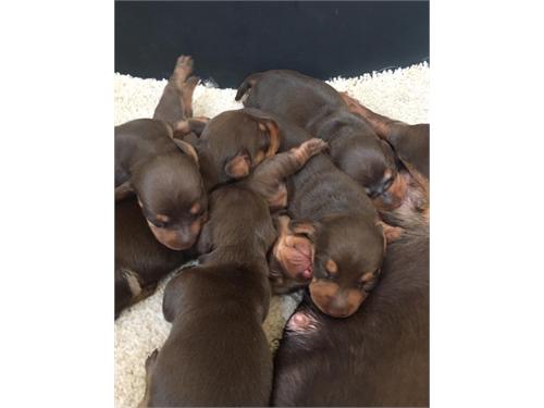 dachshund$$$puppies$$$