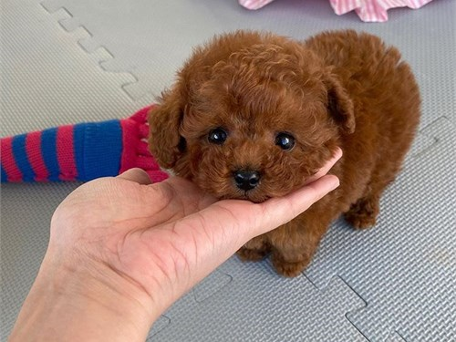 Available Toy Poodles pup