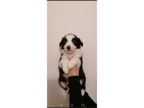 border-collie puppy
