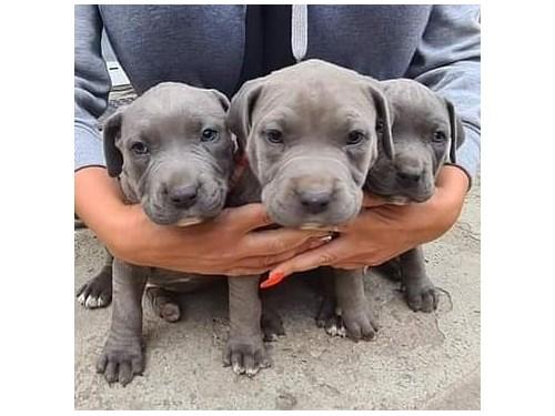 male and female pitbull