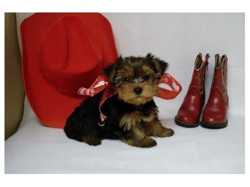 Cute Yorky puppies