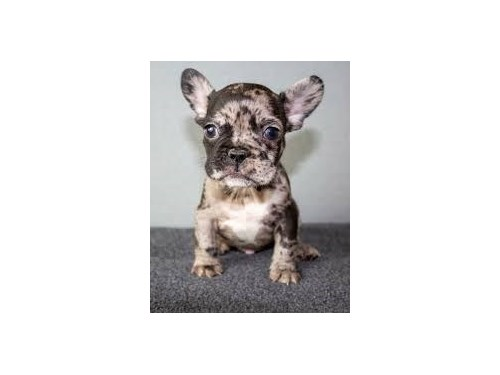 french bull pups ready