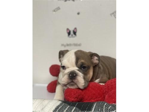 English Bulldog M)$1,900