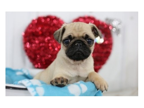 Pug puppies up for adopti
