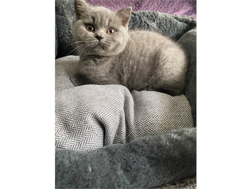 Gccf British Shorthair