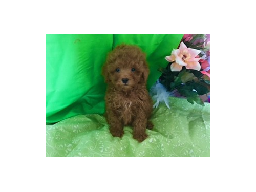Dark Red Maltipoo puppies