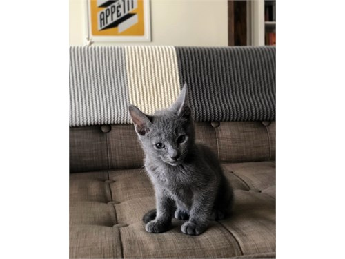 Lovable Russian Blue