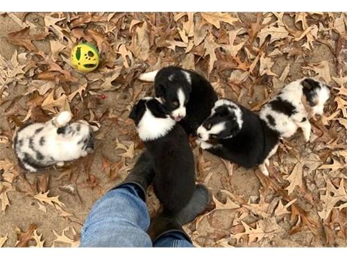 Merle Aussie pups