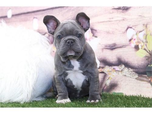 AKC Male French Bulldog