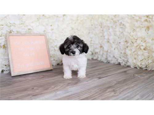 Shipoo puppy puppies