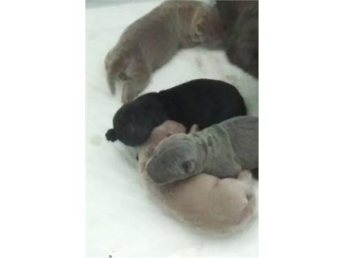 Chinese shar pei puppys