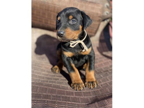 Quality Doberan pinschers pups