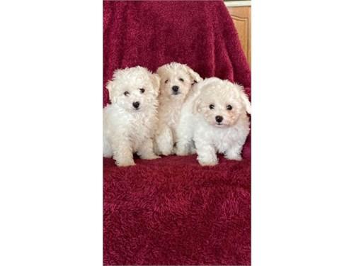 Bichon-Frise puppies