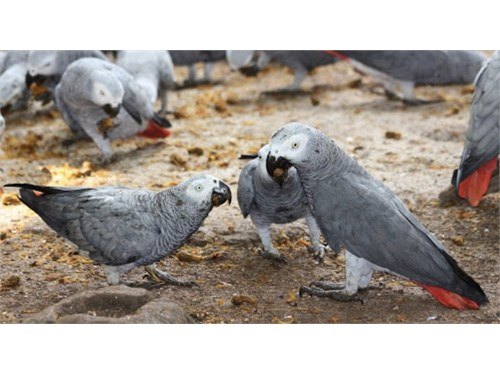 GREY PARROTS FOR SALE