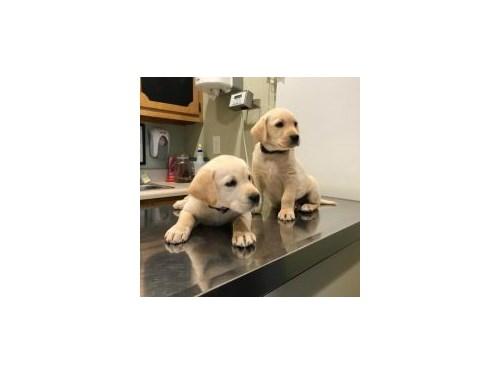 sfsfsfsLabrador Puppies