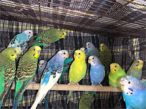 Beautiful Parakeets