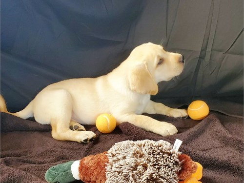 AKC Male Lab Puppy