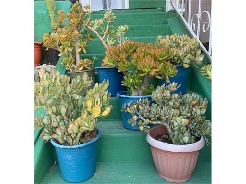 Large Jade Plants