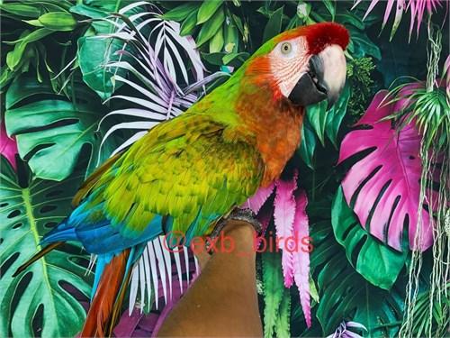Tame Jubilee Macaw