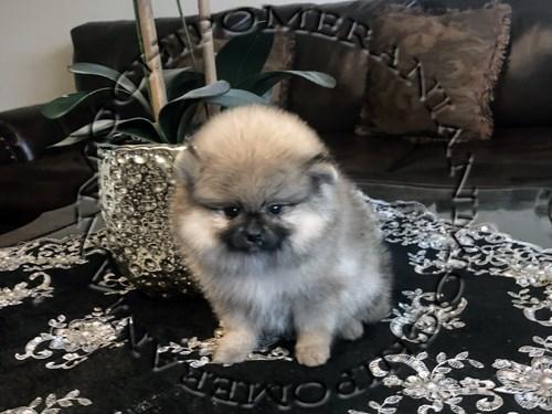 AKC Female Pomeranian