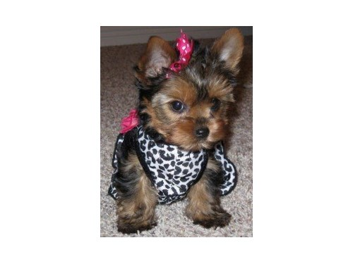 Trained Teacup Yorkie Pup