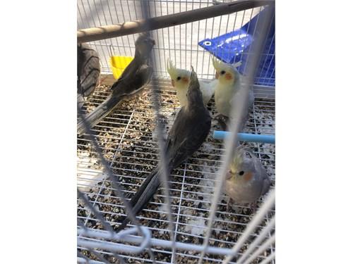 Young cockatiels