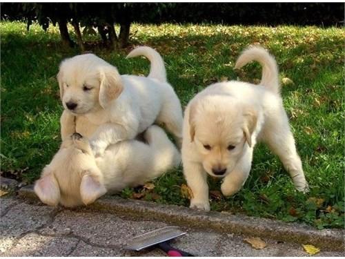 Trained Golden Retrievers