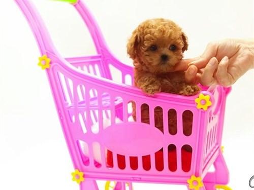 Teacup Size Toy Poodle Pu