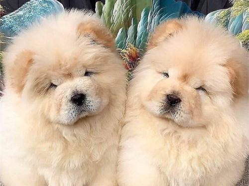 Chowchow puppies nice