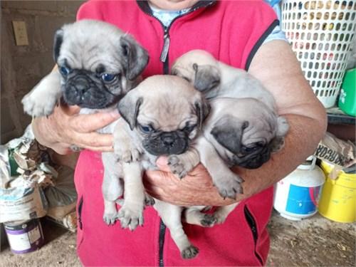 Healthy Genetic Pugs