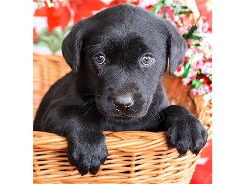 Sweet lab retriever pups