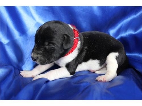 Labrador Hybrid Ret PUPS!