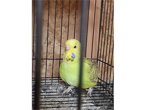 English Parakeet baby