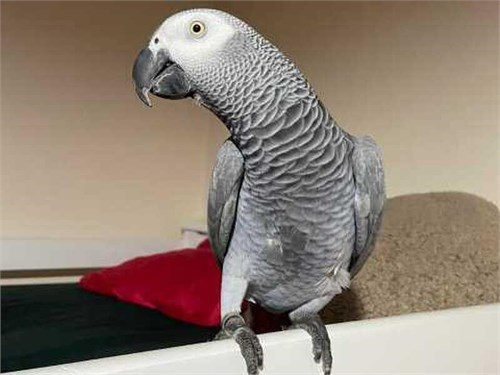 Tame african grey