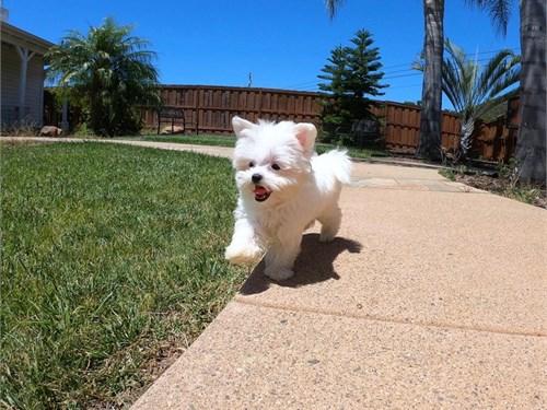 Maltese Male Pup Romeo!!!