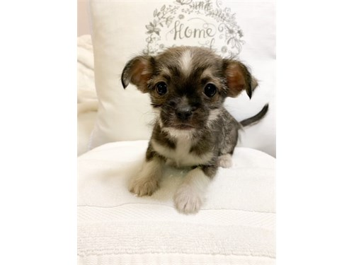 T-CUP CHORKIE PUPPIES!