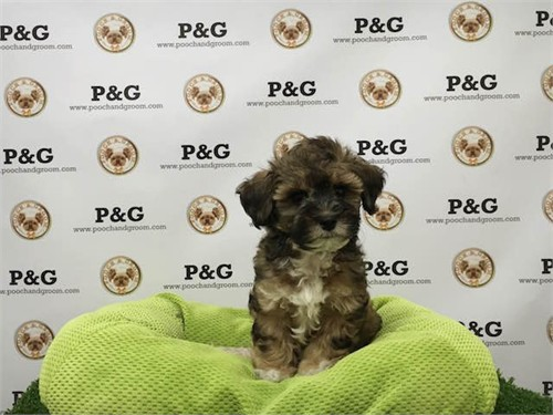 Shihpoo - Snickers - Male