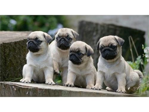 Akc Reg Pug Puppies Ready