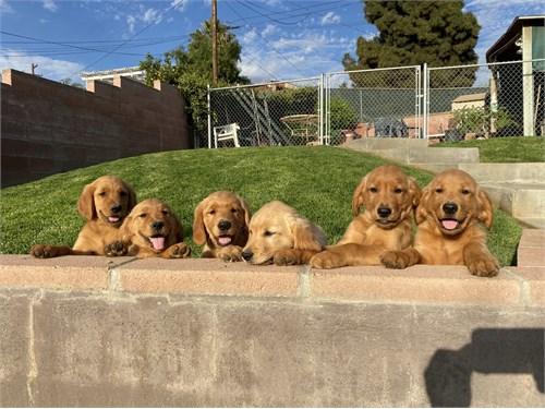 Golden Retriever Pups AKC