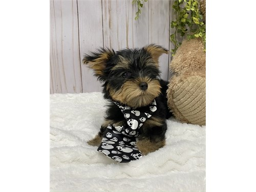 Perfect Yorkie Puppies.