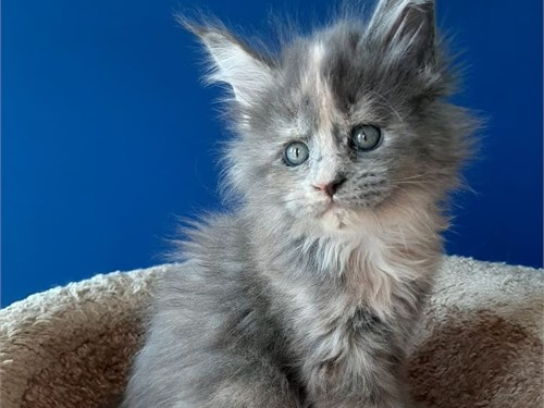 Precious Maine coon kitte