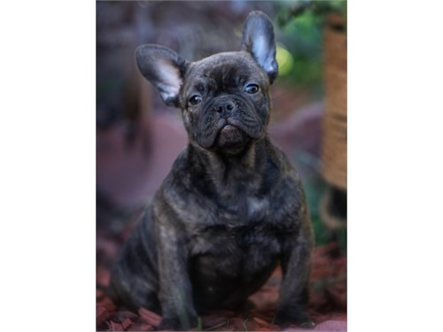 French bulldog Chocolate