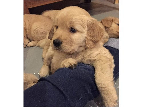 Akc Golden pups available