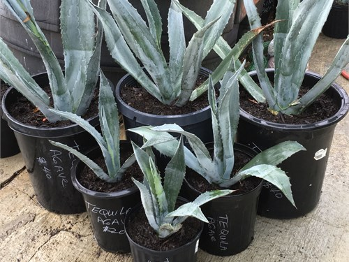 Blue Tequila Agaves