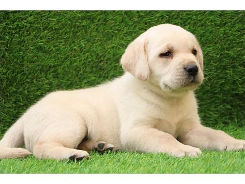 Innocent Labrador
