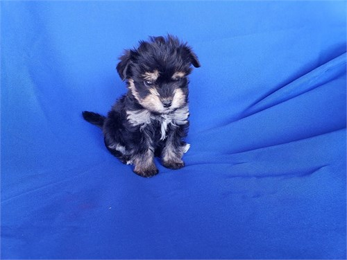 Yorkie/Poodle mix M/F