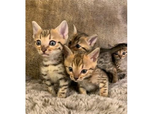 Carr M/F Bengal Kittens