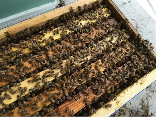 Honey Bee Nucs For Sale