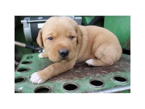 Hybrid Retriever Puppies!